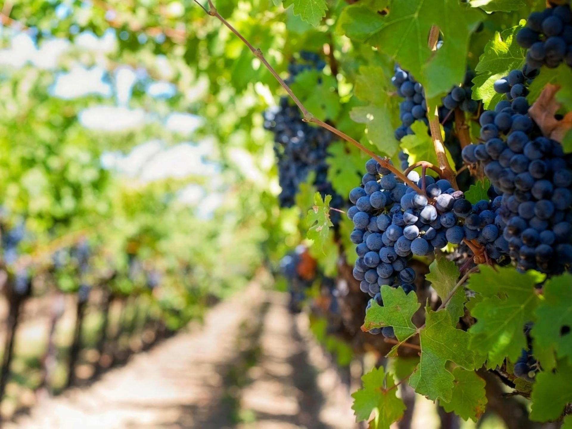 Vineyard For Sale WA